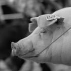 Open Livestock