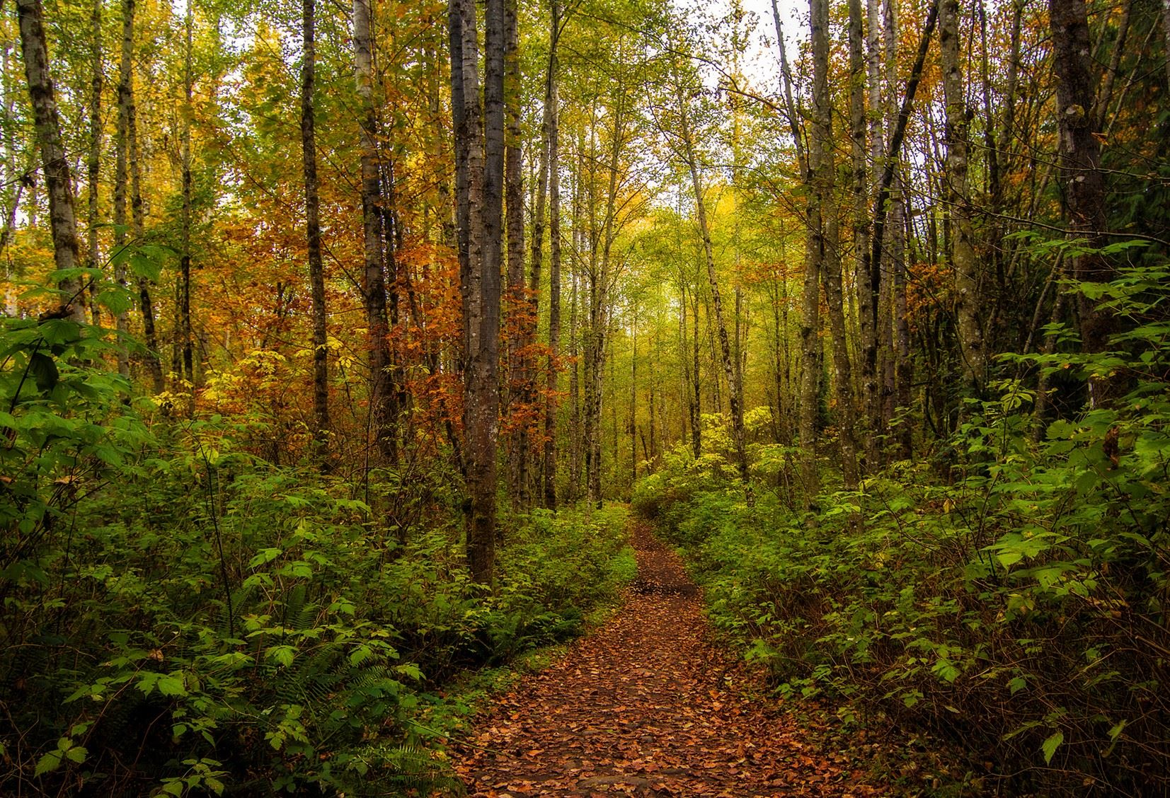 A photograph of the forest in the fall.  The trees are partly bare with yellow an brown leaves.  The narrow path is covered with fallen leaves and the