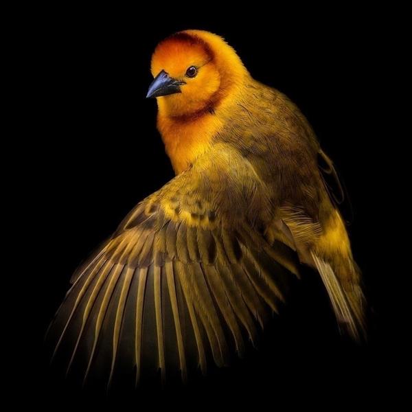 photograph of an yellow bird mid-flight on a black background