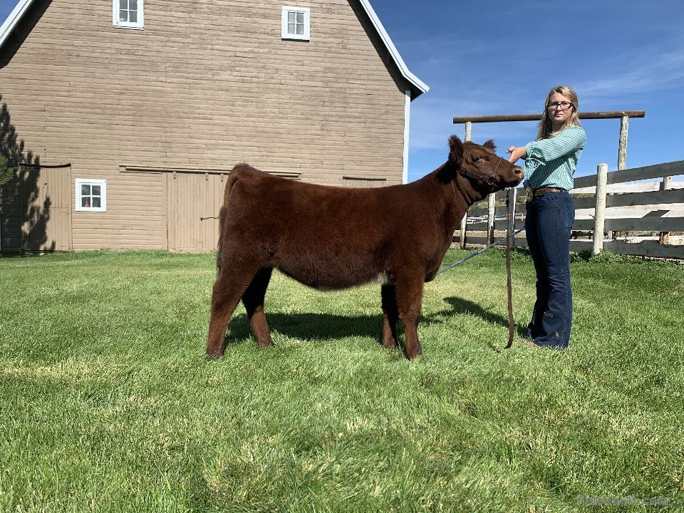 Reserve Champion Shorthorn Female