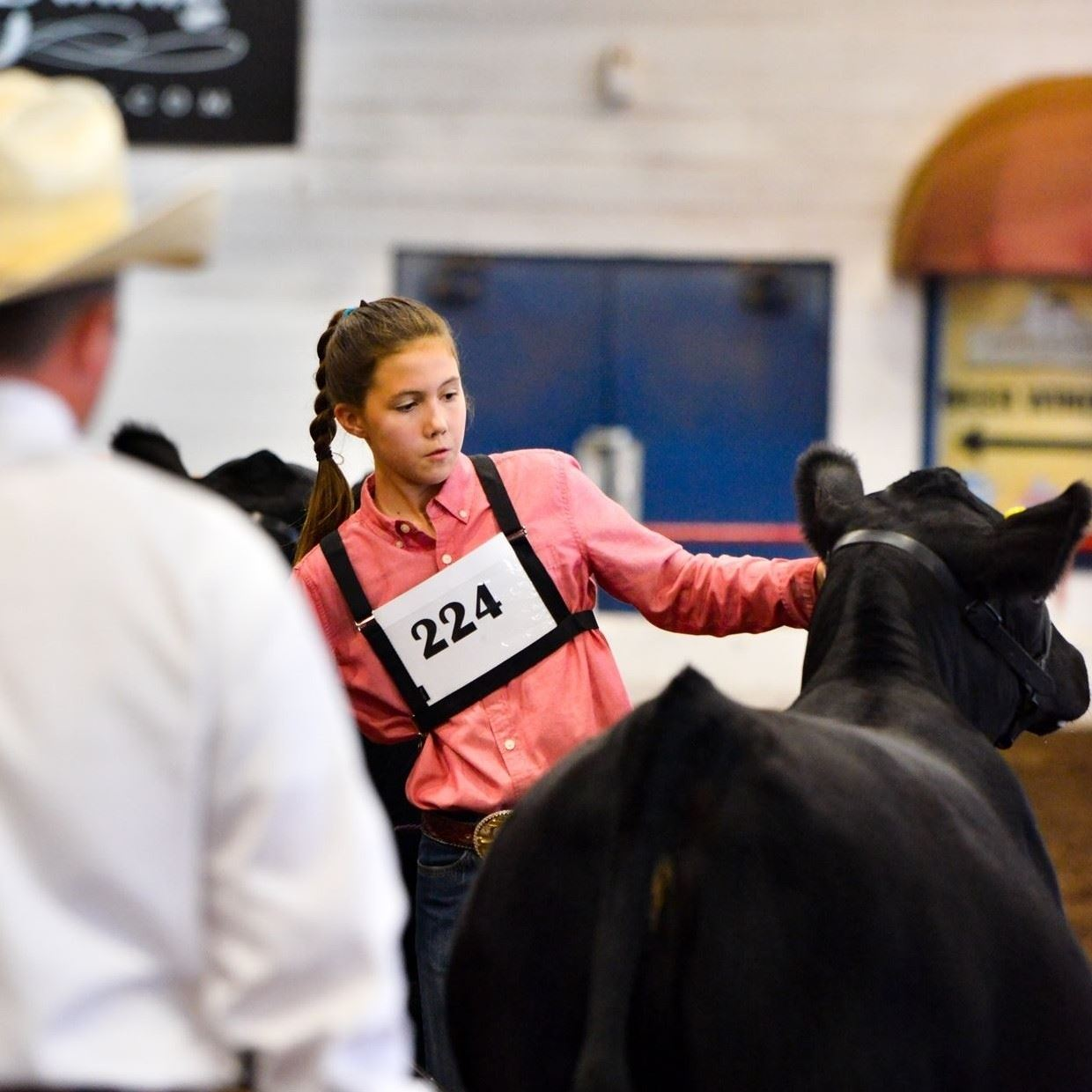 Young girl showing a black heifer while a judge examines her animal.
