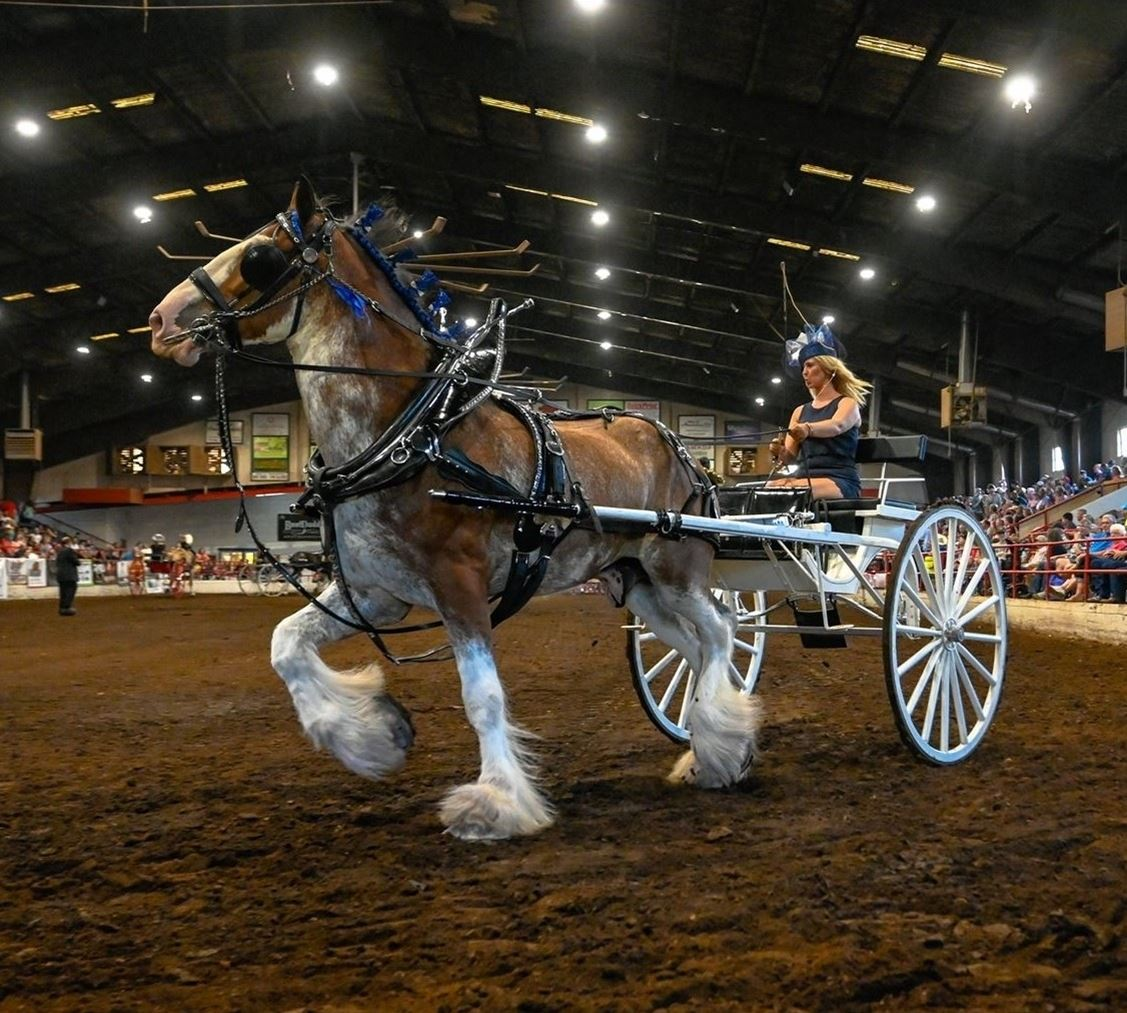 Single draft horse in an arena pulling a woman's cart.