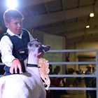 A young man shows his sheep in the sale ring