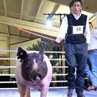 A young man leads his hog around the show ring