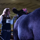 A young woman positions her cow in the show ring.