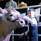 A young man positions his cow in the show room.