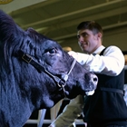 A young man shows off his cow in the show ring