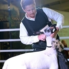 A young man positions his sheep in the show ring
