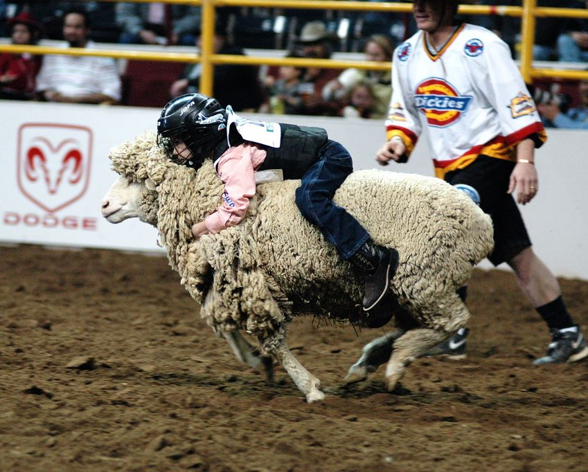 Child riding a sheep in a mutton busting fashion