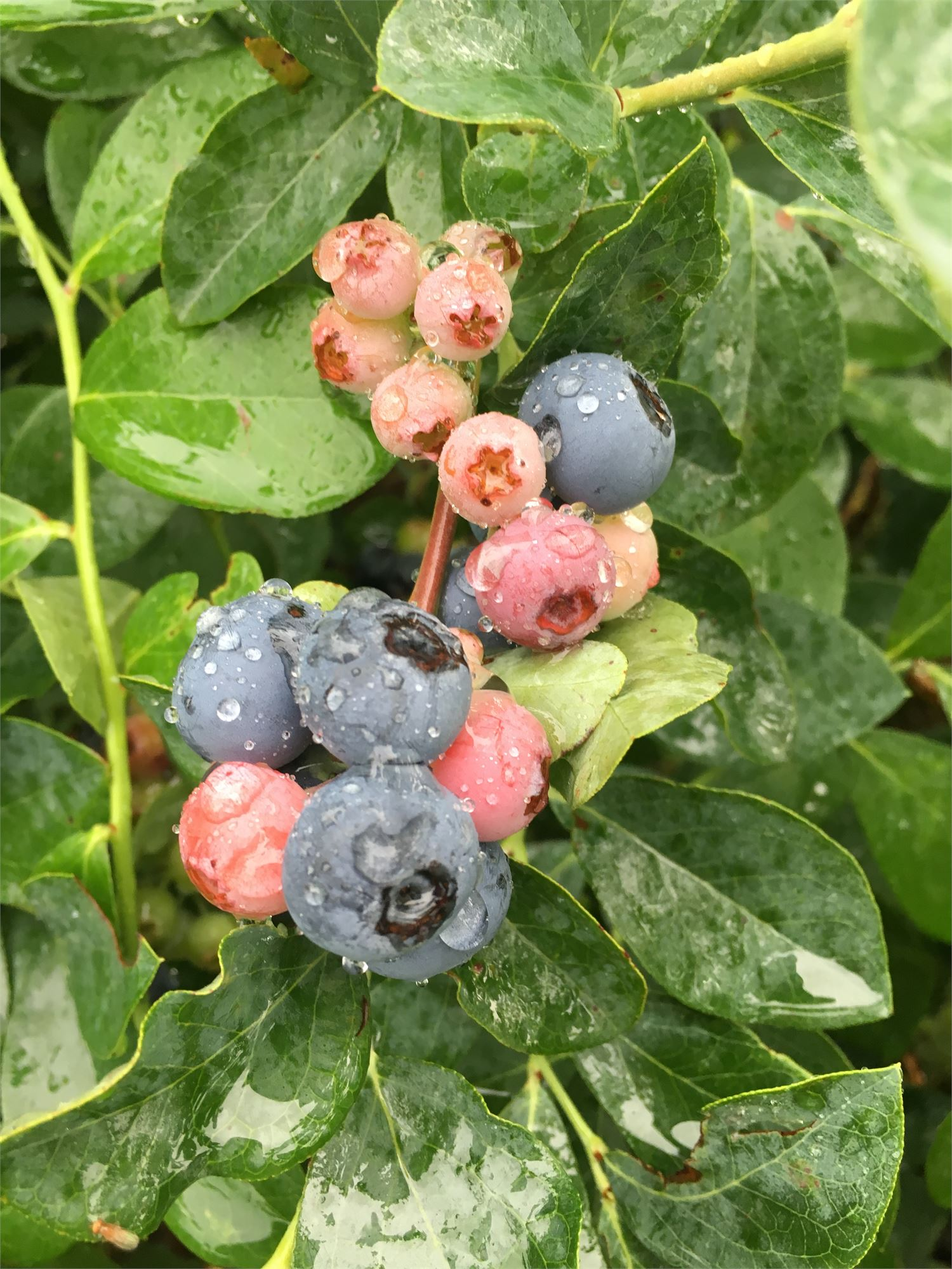 Lake Creek Blueberry Farm
