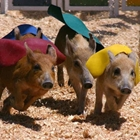 Cook's Racing Pigs