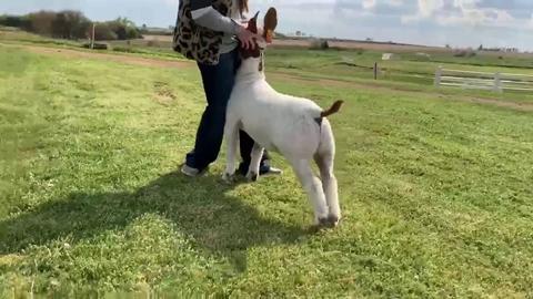 Goat Sample Video Sumbission