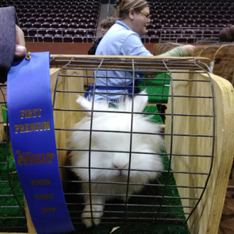 This is Arthur my REW lionhead buck. He got 1st and Best Opposite Sex