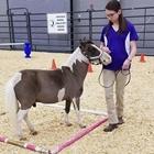Open Miniature Horse Show
