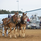 Draft Horse & Mule Show & Pull