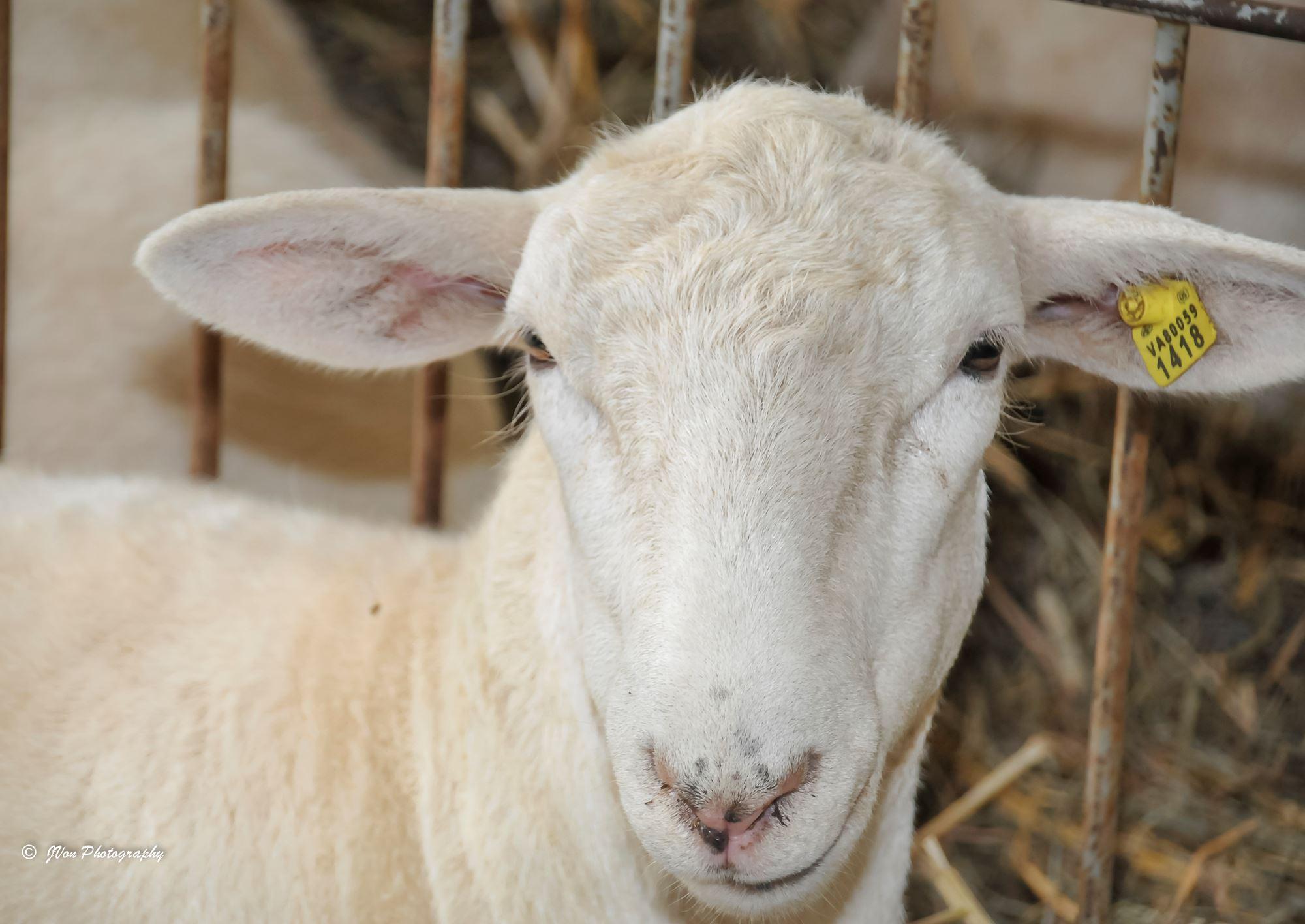 Open Sheep