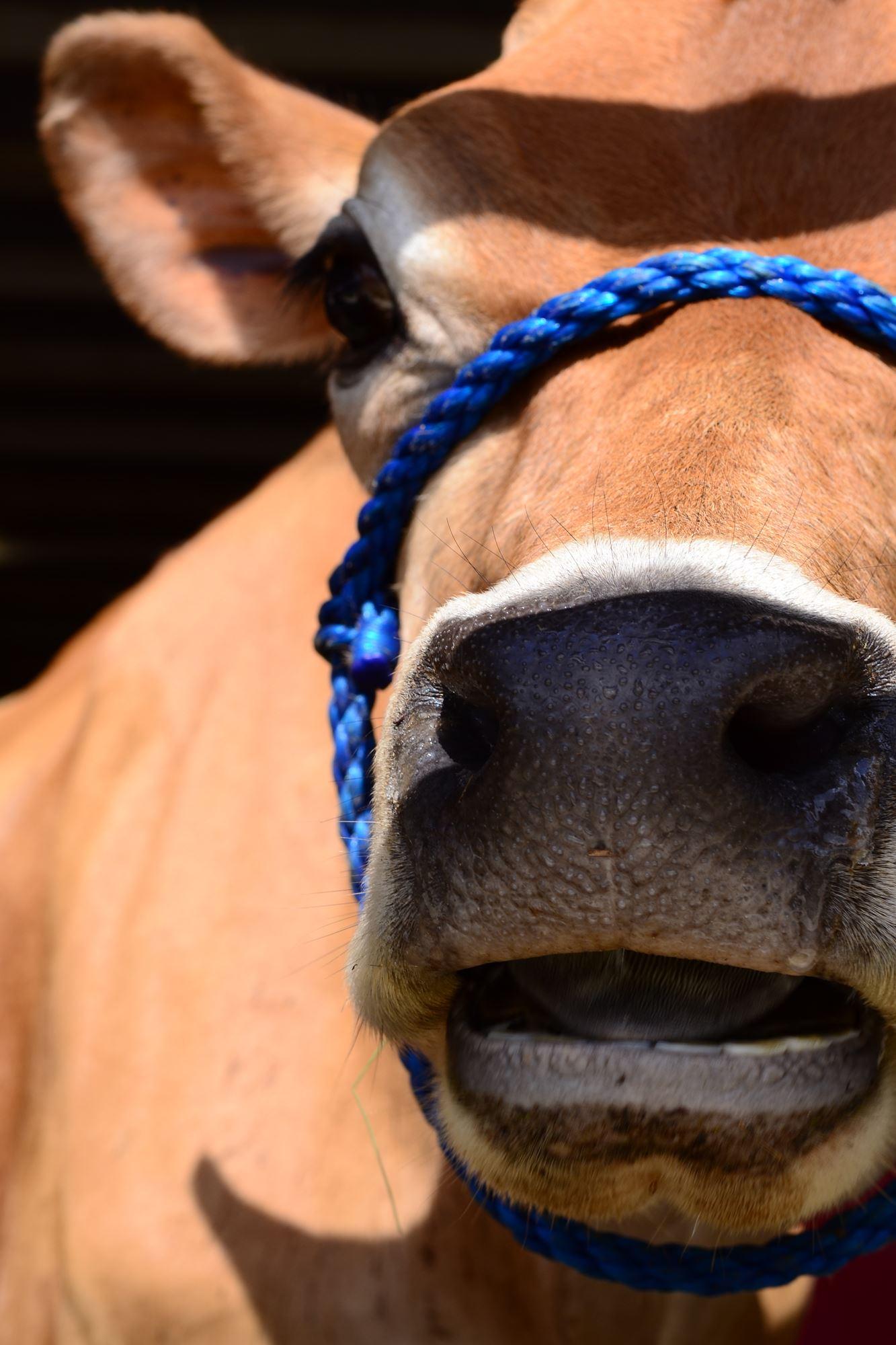 Open Dairy Cattle