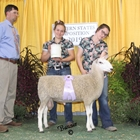 Reserve Champion White Border Leicester Ram