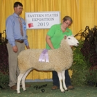 Reserve Champion White Border Leicester Ewe