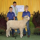Reserve Champion Cotswold Ram