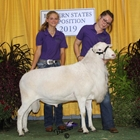 Junior Show Champion Katahdin Ram