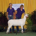 Junior Show Champion Katahdin Ewe