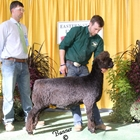 Reserve Senior Champion Natural Colored Romney Ram