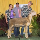 Junior Show Champion Rambouillet Ram