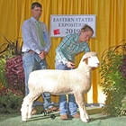 Junior Champion White Romney Ewe