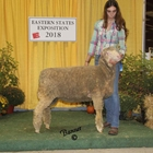 Junior Show Reserve Champion AOB Wool Ewe