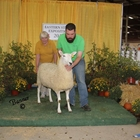 Best Headed White Border Leicester Ewe