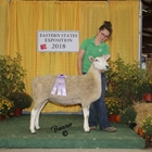 Junior Show Reserve White Border Leicester Ewe