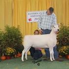 Champion Cheviot Ewe