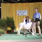 Junior Show Reserve Champion Dorper Ewe
