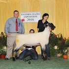 Champion Hampshire Ram