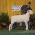 Champion Horned Dorset Ewe