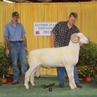 Champion Horned Dorset Ram
