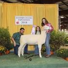 Junior Show Reserve Champion Horned Dorset Ewe