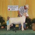 Reserve Champion Horned Dorset Ram