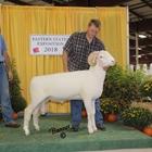 Reserve Champion Horned Dorset Ram