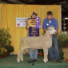 Champion White Lincoln Ram
