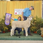 Junior Show Champion White Lincoln Ewe