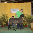 Champion Natural Colored Border Leicester Ram