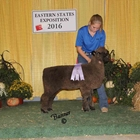 Junior Show Reserve Champion Natural Colored Romney Ewe