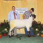 Champion Oxford Ram