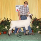 Junior Show Champion Oxford Ram