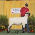 Junior Show Champion Oxford Ewe
