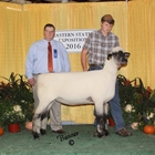 Junior Show Reserve Champion Oxfrod Ewe