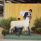 Junior Show Reserve Champion Ram
