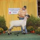 Reserve Champion Oxford Ram